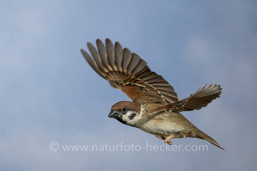 Feldspatz, Flug, fliegend, Flugbild, Feld-Spatz, Feldsperling, Feld-Sperling, Spatz, Spatzen, Sperling, Passer montanus, tree sparrow, flight, flying, sparrows, Le Moineau friquet