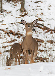 White-tailed fawn deep within the snowy northern Wisconsin forest.
