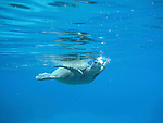 An Hawaiian Green Sea Turtle takes a breath before diving down at Olowalu, a marine sanctuary and popular snorkeling spot in West Maui.