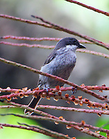 Puerto Rican tanager
