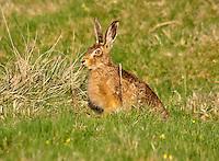Bown hare (Lepus europaeus), Chipping, Lancashire.