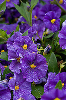 tiny purple blossoms with yellow centers in the rain