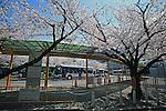 General view,<br /> APRIL 2, 2014 - Baseball :<br /> Cherry trees are in full bloom at the bus stop outside Hanshin Koshien Stadium before the 86th National High School Baseball Invitational Tournament final game between Ryukoku-Dai Heian 6-2 Riseisha in Hyogo, Japan. (Photo by Katsuro Okazawa/AFLO)