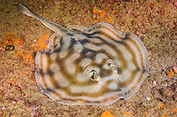 Bullseye stingray or Reef stingray, Urobatis concentricus, Cabo Pulmo, Baja, Mexico, Sea of Cortez.
