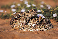 Western Diamondback Rattlesnake (Crotalus atrox), adult in defense pose among flowers in desert, Starr County, Rio Grande Valley, Texas, USA, North America