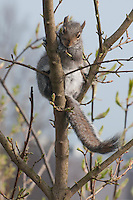 Grey Squirrel in a tree.