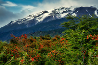 Chilean Fire Bush (Embothrium coccineum) and mountins in  Torres del Paine National Park, Chile. Argentina
