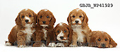 Kim, ANIMALS, REALISTISCHE TIERE, ANIMALES REALISTICOS, fondless, photos,+Five cute Cockapoo puppies in a row,++++,GBJBWP41929,#a#