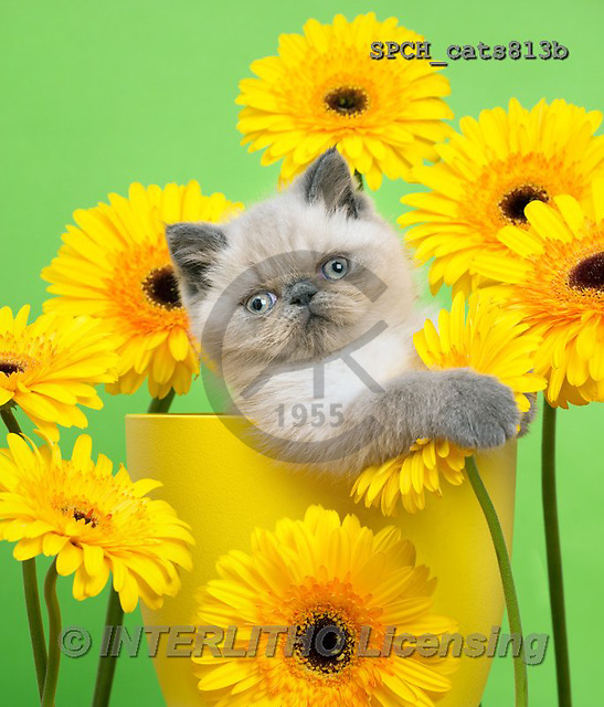 Xavier, ANIMALS, REALISTISCHE TIERE, ANIMALES REALISTICOS, cats, photos+++++,SPCHCATS813B,#A#