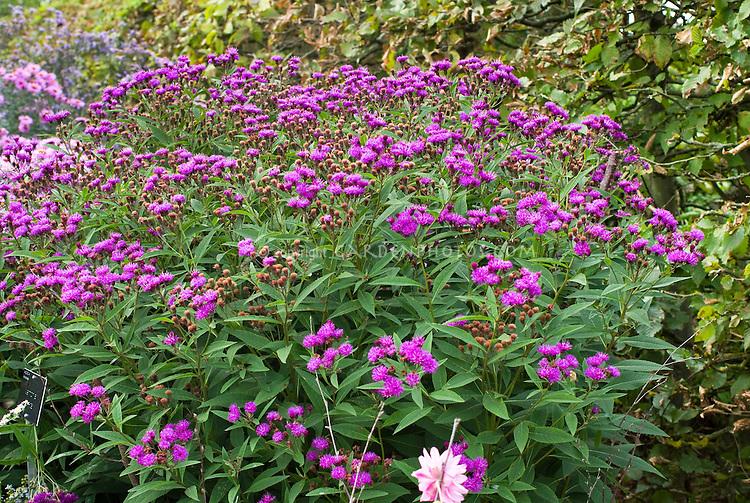 Vernonia crinita = V. austriaca subsp. teucrium, Ironweed in bloom in late summer or autumn fall flowers
