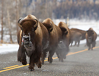 Bison often find it easier to commute along Yellowstone's roads in winter.