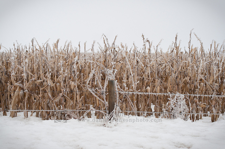 20 January 2010 -- Daily picture for January 20, 2010. Stalks of frozen corn along 72nd St. north of Bennington Rd. in northern Douglas County, Nebraska.  PHOTO/Daniel Johnson (Copyright 2010 Daniel Johnson)