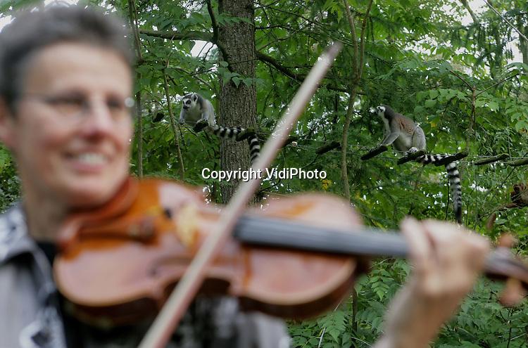 Foto: VidiPhoto..APELDOORN - In de Apenheul in Apeldoorn hebben muziekdocenten van de muziekschool SPMA zaterdag een concert tussen de apen gehouden. Er werd vooral muziek gespeeld waarin dieren centraal stonden. De apen bleven niet lang luisteren en gingen er snel vandoor. Niet uitgesloten is dat de kwaliteit van de muziek daar debet aan was.