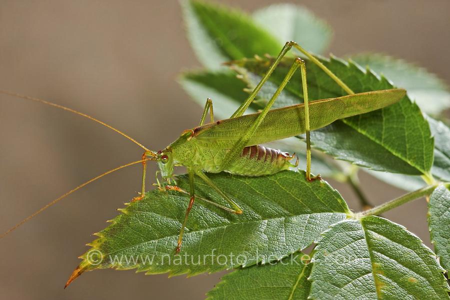 Gemeine Sichelschrecke, Männchen, Phaneroptera falcata, Sickle-bearing Bush-cricket, Sickle-bearing Bush cricket, male, Phanéroptère commun, Sichelschrecken, Phaneropterinae, Tettigoniidae