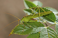 Gemeine Sichelschrecke, Männchen, Phaneroptera falcata, Sickle-bearing Bush-cricket, Sickle-bearing Bush cricket, male, Phanéroptère commun, Sichelschrecken, Phaneropterinae, Tettigoniidae