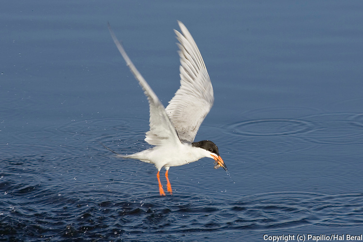 Forster's Tern emerges from the water with a fish in it's bill.(Sterna forsteri).Bolsa Chica Wetlands, California
