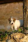 Jack Russel puppy