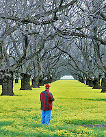 Man viewing old walnut orchard with yellow legume ground cover. Near Colusa, California