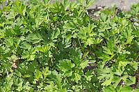 Kriechender Hahnenfuß, Blatt, Blätter vor der Blüte, Hahnenfuss, Ranunculus repens, Creeping Buttercup