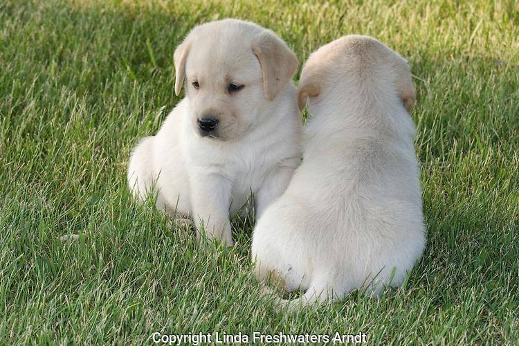 Yellow Labrador retriever (AKC) puppies facing opposite directions