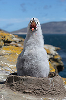 Black-browed Albatross - Thalassarche melanophris - chick on nest