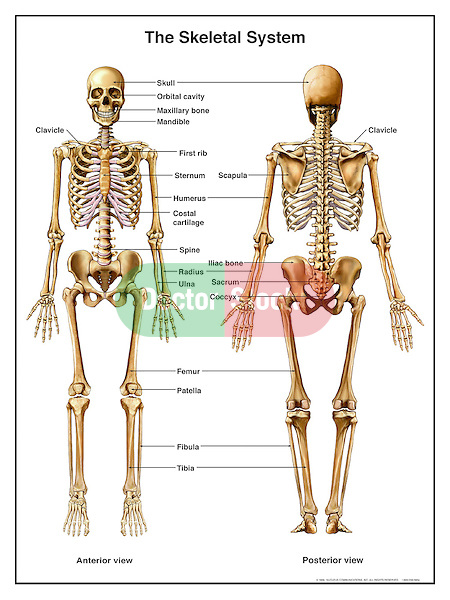 Anatomy of the Human Skeletal System (Skeleton). Full body anterior and posterior views with labels for bones: skull, orbital cavity, maxillary bone, mandible, clavicle, sternum, scapula, humerus, costal cartilage, radius, ulna, sacrum, coccyx, femur, patella, tibia, and fibula.
