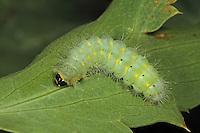Punkt-Widderchen, Punktwidderchen, Raupe, Zygaena punctum, Mesembrynus punctum, caterpillar
