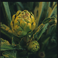 Growing and harvesting artichokes in Castroville, California. Photos taken february 1995(Anacleto Rapping @2007)