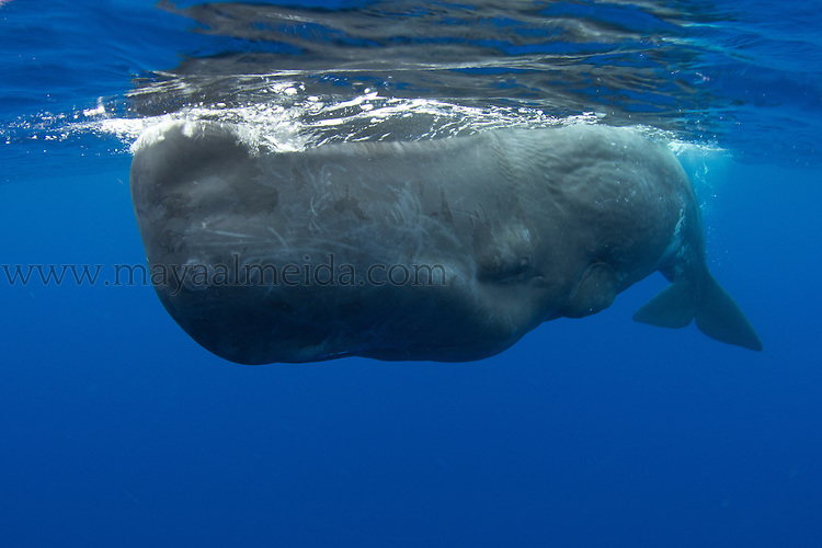The sperm whale known as Physeter macrocephalus is a marine mammal species, order Cetacea, a toothed whale  or odontocete having the largest brain of any animal
