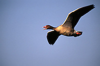 Greylag goose in flight.