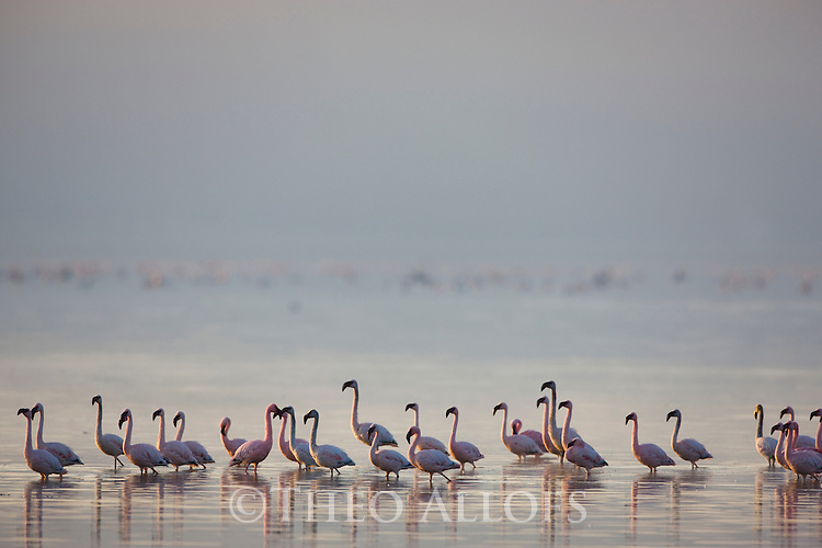 Lesser flamingos (Phoenicopterus minor) in Lake Nakuru at sunrise, Lake Nakuru National Park, Kenya