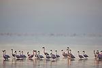 Lesser flamingos (Phoenicopterus minor) in Lake Nakuru at sunrise, Lake Nakuru National Park, Kenya