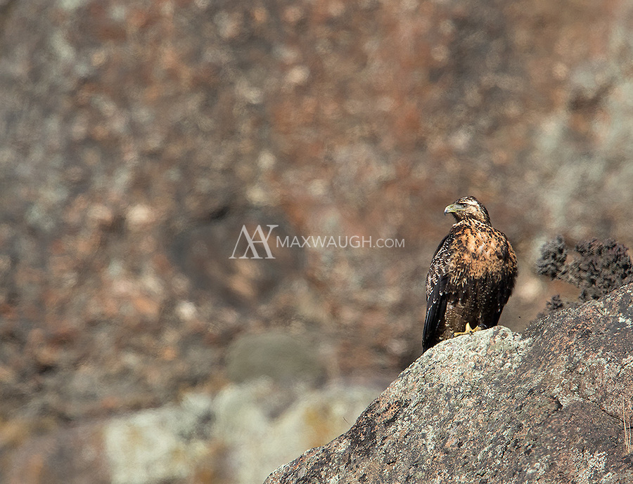 We saw a few of these large raptors during our visit to Torres del Paine.  This is a juvenile.