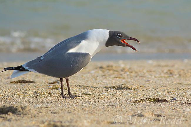 Laughing Gull (Larus atricilla) adult in breeding plumage calling, Fort De Soto Park, Florida, USA