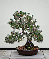 Japanese Black Pine bonsai tree.