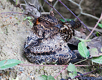 Lyre-tailed nightjar female at nest with immature bird