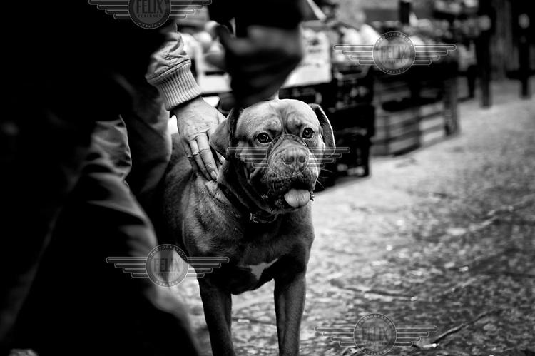 A pitbull dog is taken on a walk through the Quartieri Spagnoli (Spanish Quarters).