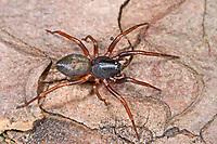 Glattbeinspinne, Glattbein-Spinne, Cetonana laticeps, Ceto laticeps, Glattbeinspinnen, Trachelidae