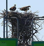 LIGHTHOUSE OSPREY