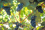 Grapes on the vine nearly ready for harvest