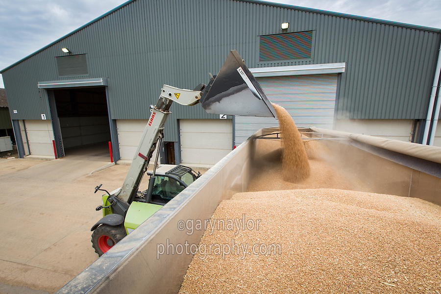 Loading wheat from farm grainstore into lorry