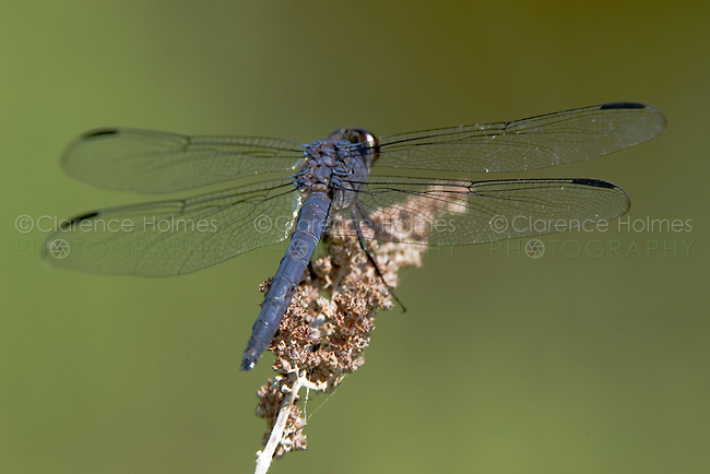 Slaty Skimmer (Libellula incesta) Dragonfly - Male, Ward Pound Ridge Reservation, Cross River, Westchester County, New York