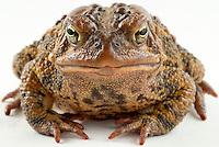 American Toad.Bufo Americanus