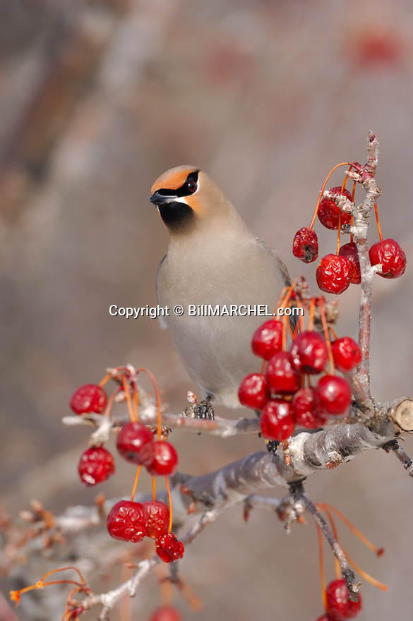 00110-009.10 Bohemian Waxwing (DIGITAL) pauses while feeding on crab apples.  Bird, birding, berry, red, mask, fauna.  V4F1