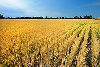 Barley crop<br />Near Grassland<br />Alberta<br />Canada