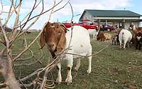 NWA Democrat-Gazette/DAVID GOTTSCHALK  One of the goats Thursday, March 14, 2018, on the Burnett family farm, D4S Farms, in Winslow. The Burnett family tends poultry, cattle, hogs, ducks and the goats on the 500 acre farm.