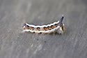 Grey Dagger moth caterpillar (Acronicta psi), late September.