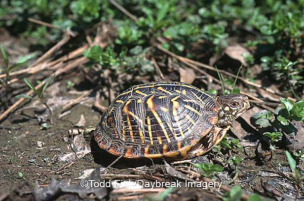 02539-001.06 (TF) Ornate box turtle (Terrapene ornata)    IL