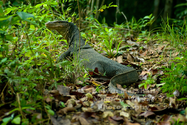 The Water monitor, (Varanus salvator) is a large species of monitor lizard capable of growing over 3 meters (9.8 ft) in length, with the average size of most adults at 2.5 meters (8.9) long. Maximum weight of Varanus salvator can be over 90 kg, but most are half that size. Their body is muscular with a long, powerful, laterally compressed tail. Water monitors are one of the most common monitor lizards found throughout Asia, and range from Sri Lanka, India, Indochina, the Malay Peninsula and various islands of Indonesia, living in areas close to water.