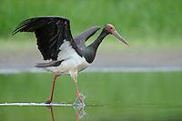Black Storks River Elbe Germany; Biosphärenreservat Niedersächsische Elbtalaue; adult; Schwarzstorch; Black Stork; Ciconia nigra; Biosphere Reserve Middle Elbe. digitally cleaned.